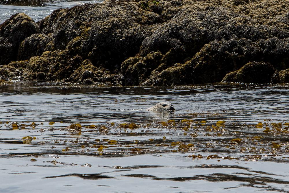 Lone sea otter