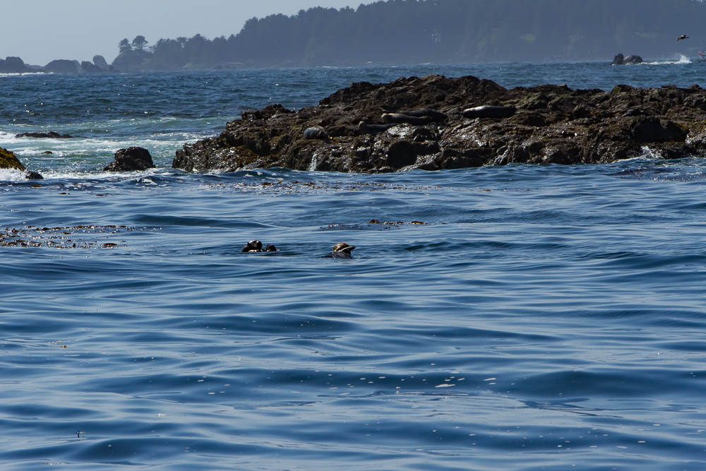 Sea otters playing!
